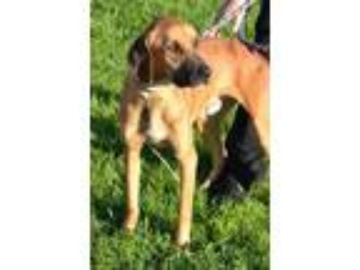 Adopt Gabriel a Tan/Yellow/Fawn - with Black Hound (Unknown Type) / Black Mouth