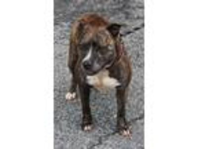 Adopt Echo a Pit Bull Terrier