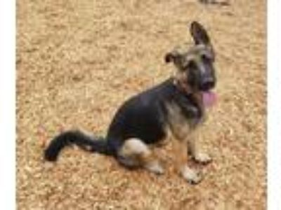Adopt HERA a Black - with Brown, Red, Golden, Orange or Chestnut German Shepherd