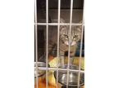 Adopt Lindy a Domestic Short Hair