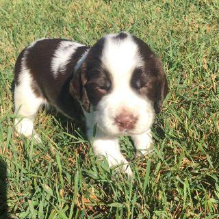 Puppy - Bozeman Classifieds - Claz org