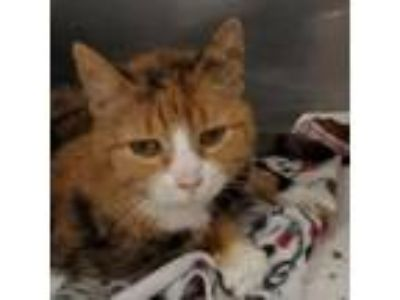 Adopt Pippa a Domestic Medium Hair, Domestic Short Hair