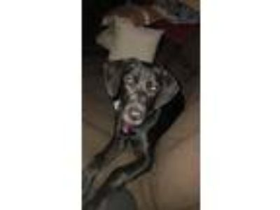 Adopt Maicie a Black Labrador Retriever / German Shorthaired Pointer dog in Lake