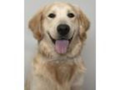 Adopt Murray D190685 a Golden Retriever, Standard Poodle
