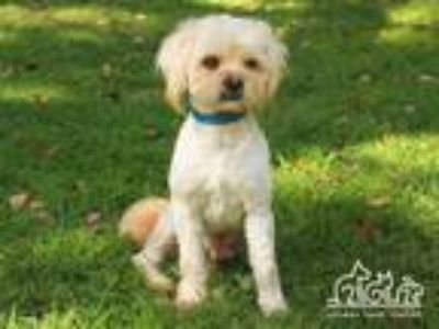 Adopt JUSTIN a White Terrier (Unknown Type, Medium) / Poodle (Miniature) / Mixed