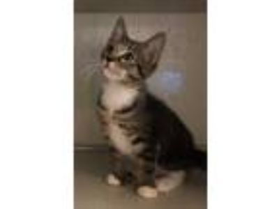 Adopt Toes (Polydactal Litter) a Brown or Chocolate Domestic Shorthair /
