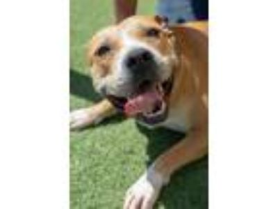 Adopt Found stray: Razzie a Tan/Yellow/Fawn Pit Bull Terrier / Mixed dog in