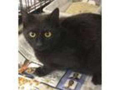 Adopt Dover a Domestic Short Hair