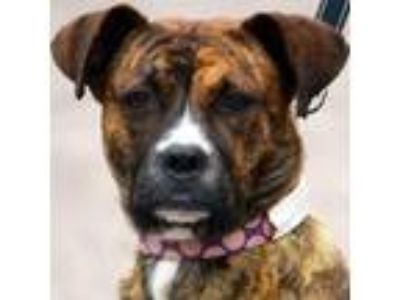 Adopt Champagne a Brindle Boxer / Mixed dog in Huntley, IL (25342172)