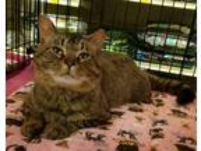 Adopt Rocco a Brown Tabby Domestic Shorthair (short coat) cat in Irwin