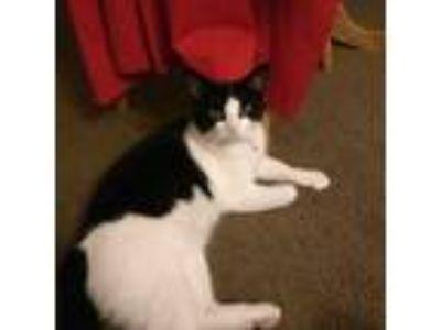 Adopt Robin a Black & White or Tuxedo American Shorthair / Mixed cat in Pomona