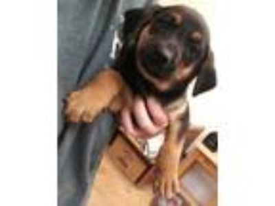 Adopt Ora a Black Black Mouth Cur / Shepherd (Unknown Type) / Mixed dog in