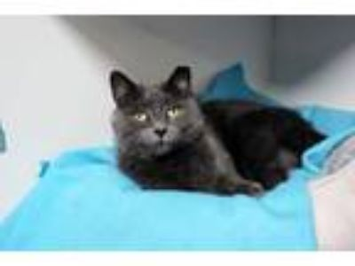 Adopt Yeva a Domestic Short Hair