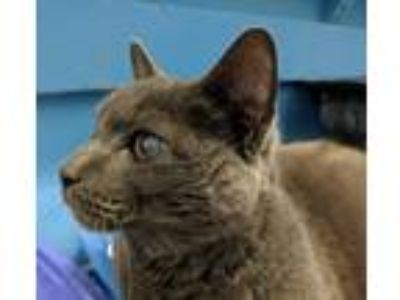 Adopt Raven a Gray or Blue Domestic Shorthair (short coat) cat in Elyria