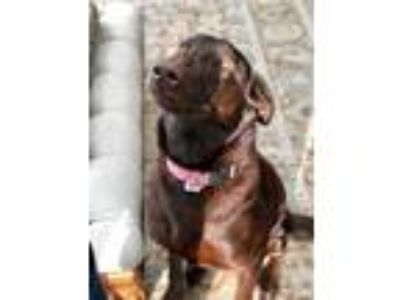 Adopt Carmella a Doberman Pinscher, German Shepherd Dog