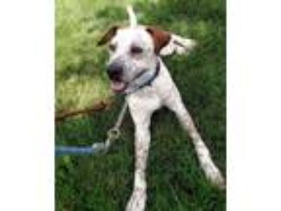 Adopt Donald a Labrador Retriever, English Setter