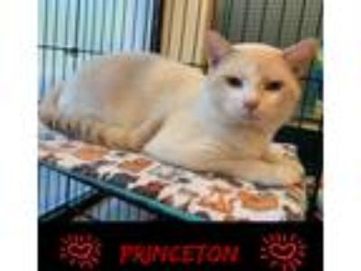 Adopt Princeton a Cream or Ivory (Mostly) Siamese (short coat) cat in