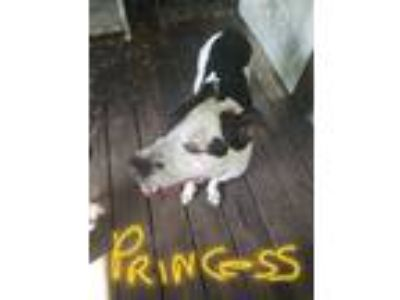 Adopt Princess a White - with Black American Staffordshire Terrier / Mixed dog