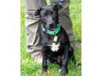 Adopt Wyatt a Black Labrador Retriever / Mixed dog in Novelty, OH (25864728)