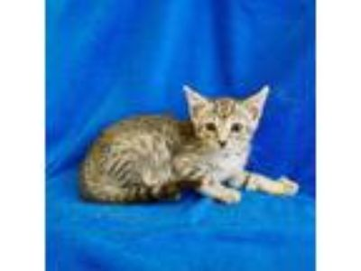 Adopt Dr. Derek Shepherd, M.D. a Domestic Short Hair