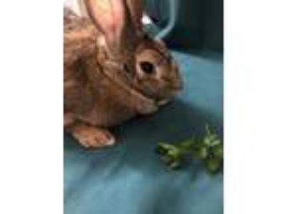 Adopt Bernadette P. a Other/Unknown / Mixed (short coat) rabbit in Baton Rouge