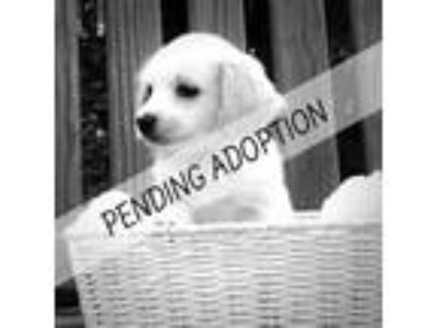 Adopt Chloe a White Cavalier King Charles Spaniel / Beagle dog in Moorestown