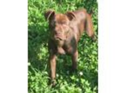 Adopt Violet a Brown/Chocolate American Staffordshire Terrier / Mixed dog in