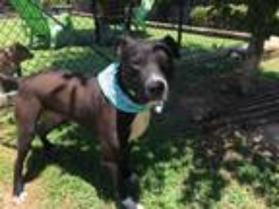 Adopt DIO a Pit Bull Terrier, Mixed Breed