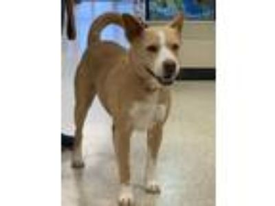 Adopt Marcie a Cattle Dog, Labrador Retriever