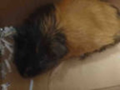 Adopt CHOCOLATE a Black Guinea Pig / Mixed small animal in Los Angeles