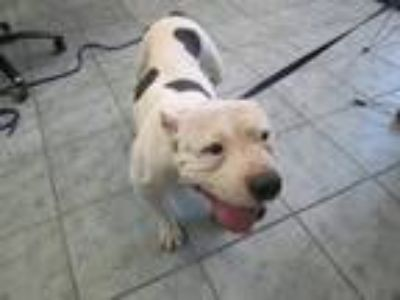 Adopt Pudge a White Pit Bull Terrier dog in Weatherford, TX (25636513)