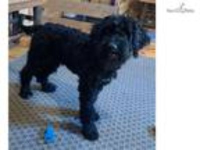 Shelby - Female Portuguese Water Dog Puppy