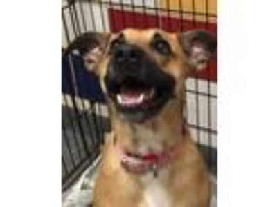 Adopt Sydney a Tan/Yellow/Fawn Boxer / Shepherd (Unknown Type) / Mixed dog in