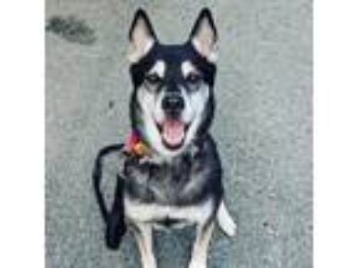 Adopt Peach Pie a Black - with Gray or Silver Husky / German Shepherd Dog /