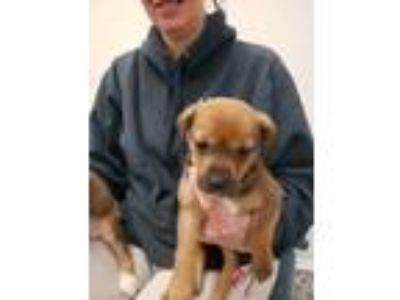 Adopt Missy a Brown/Chocolate - with Black Beagle / Hound (Unknown Type) / Mixed