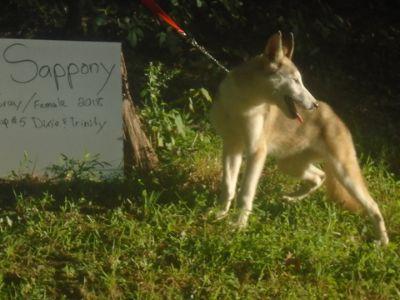 Wolf Hybrid PUPPY FOR SALE ADN-95201 - Nordogs Wolf dog Sappony
