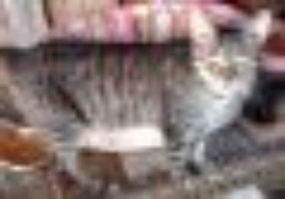 Tiger Baby Tabby Cat