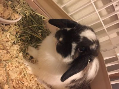 Holland lop eared bunny rabbit