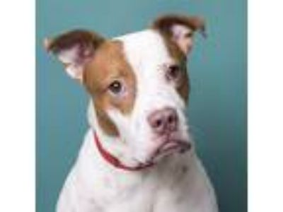 Adopt Darcy a Pointer / Pit Bull Terrier / Mixed dog in Anniston, AL (21861922)