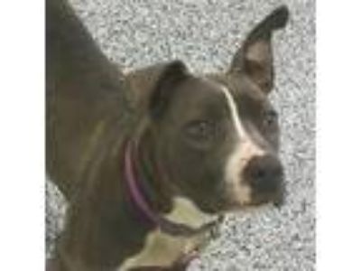 Adopt Royal a Gray/Blue/Silver/Salt & Pepper American Pit Bull Terrier / Mixed