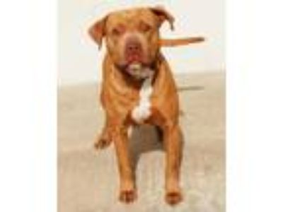 Adopt Farrah a Red/Golden/Orange/Chestnut American Pit Bull Terrier / Mixed dog