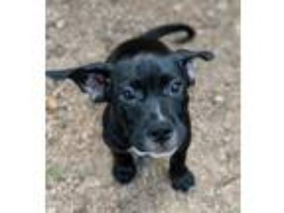 Adopt Adorable Buzz a Black - with White Labrador Retriever / Mixed dog in