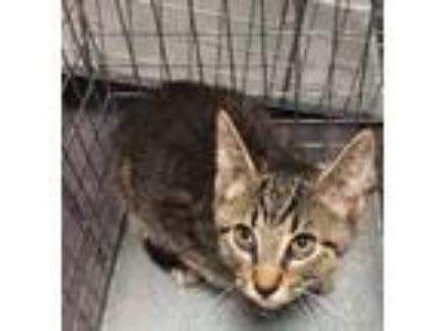 Adopt Neville Longbottom 1054-19 a Brown or Chocolate Domestic Shorthair /