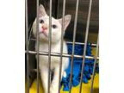 Adopt Donnie a Domestic Shorthair / Mixed (short coat) cat in Chico