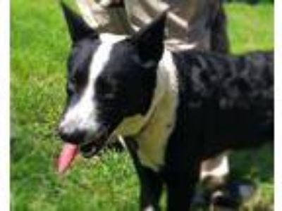 Adopt APLICA a Border Collie, Mixed Breed