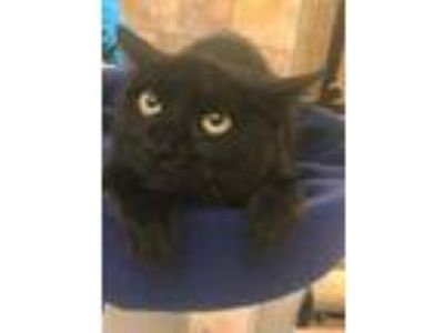 Adopt Belinda a All Black Domestic Shorthair / Domestic Shorthair / Mixed cat in