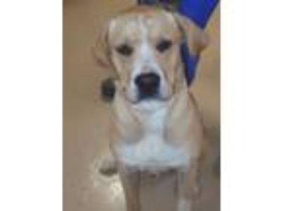 Adopt Domino a Labrador Retriever, Yellow Labrador Retriever