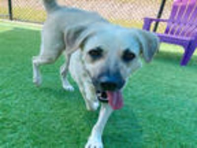 Adopt SKYLAR a Tan/Yellow/Fawn Labrador Retriever / Mixed dog in Dallas