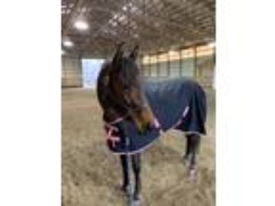 Alchemy Fantastic HJ Dressage and Trail Mare