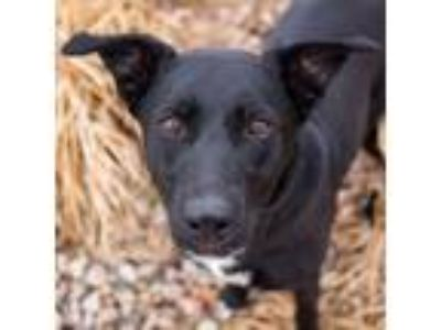 Adopt Lucy a Border Collie / Labrador Retriever / Mixed dog in Golden